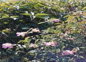 Wild Rose Canvas